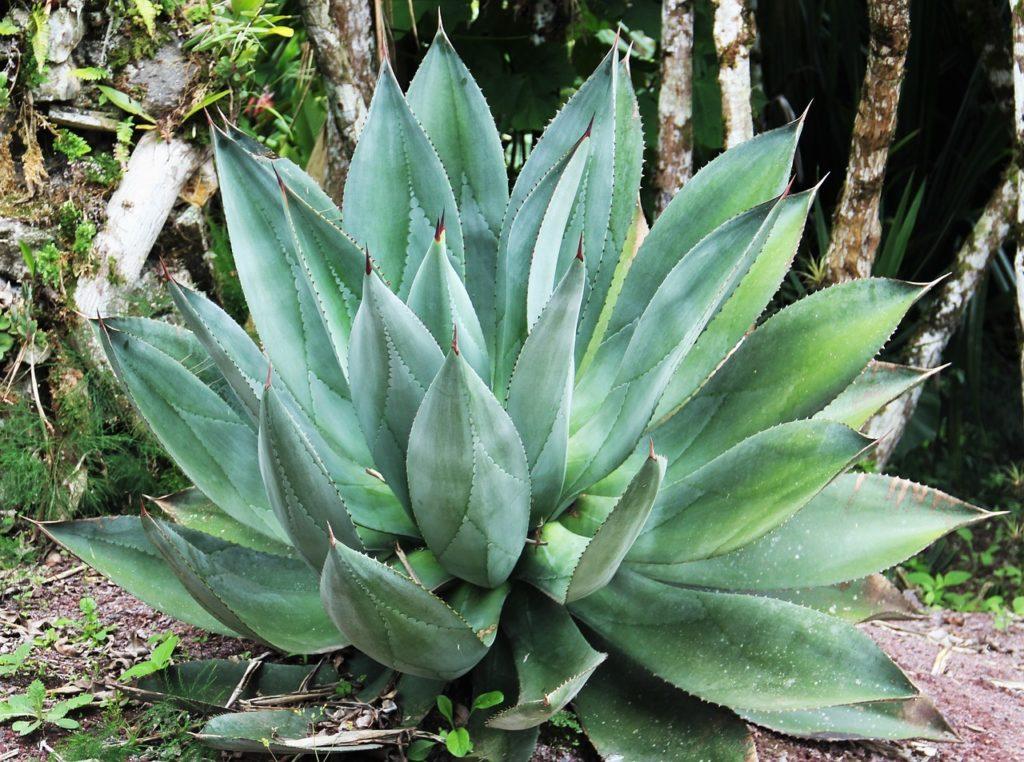 Voici à quoi peu ressembler la plante dans son état naturel